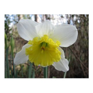 Narciso blanco postales