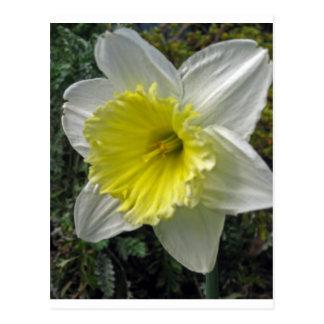 Narciso cierre encima de la fotografía postal
