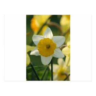 Narciso de la primavera tarjeta postal