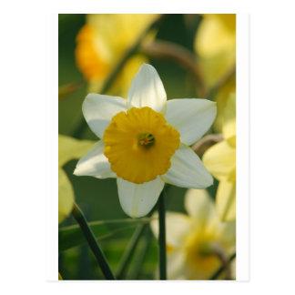 Narciso de la primavera postal