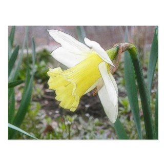 Narciso del jardín en primavera temprana postal