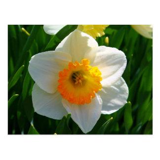 Narciso en el jardín de Littlefield en Orono, Postal
