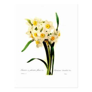 Narciso tazetta.var postal