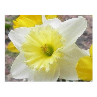 Narciso temprano de la primavera tarjetas postales