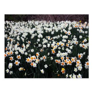 Narciso y narcisos en jardín botánico tarjeta postal