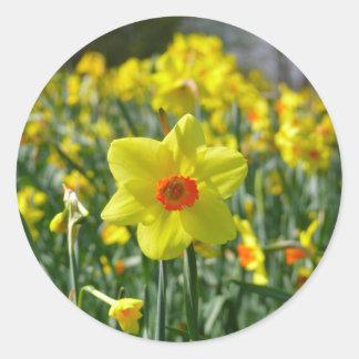 Narcisos amarillo-naranja 01.0.2 pegatina redonda