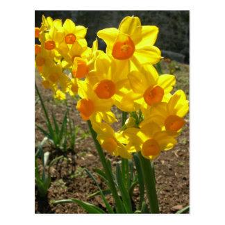 Narcisos amarillos tarjetas postales