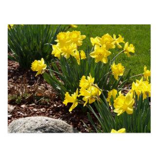 Narcisos amarillos postales