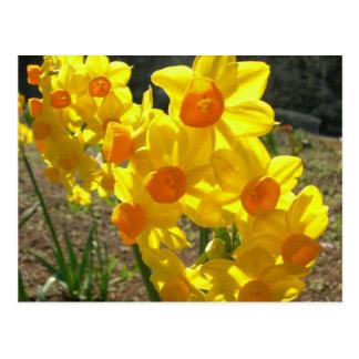 Narcisos amarillos postal