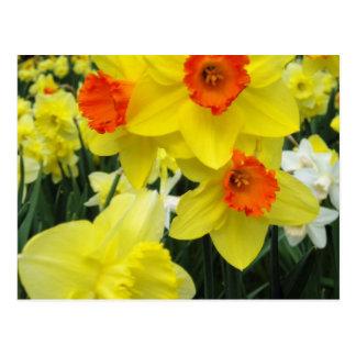 Narcisos de la primavera postal