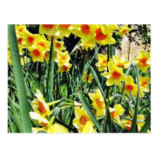 Narcisos en flor tarjetas postales