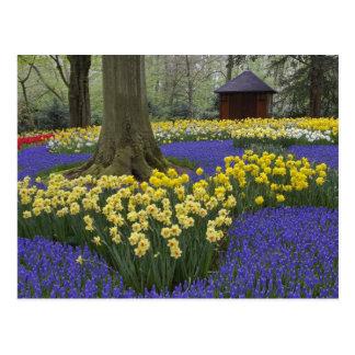 Narcisos, jacinto de uva, y jardín del tulipán, tarjetas postales