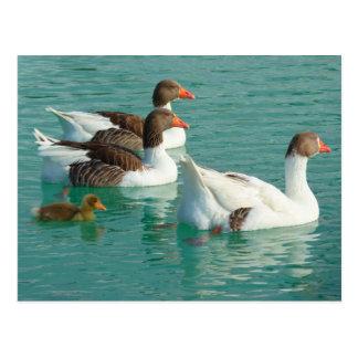 Natación de la familia de los gansos en agua azul tarjeta postal