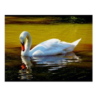 Natación del cisne en el lago en colores hermosos postal