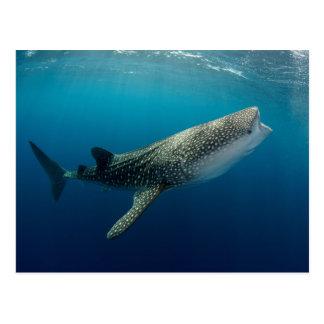 Natación del tiburón de ballena postal