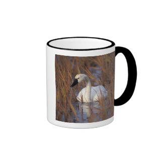 Natación en una charca, 1002 Coastal del cisne que Tazas De Café