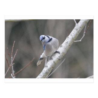 Naturaleza del arrendajo azul del pájaro postal