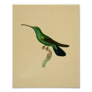 Negro 1830 del verde de la impresión del colibrí