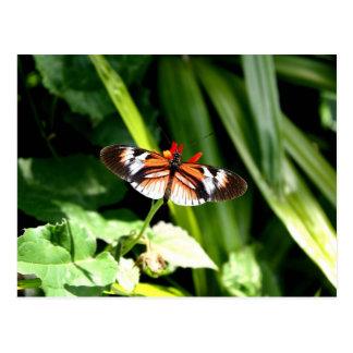 Negro, naranja y mariposa del blanco postal