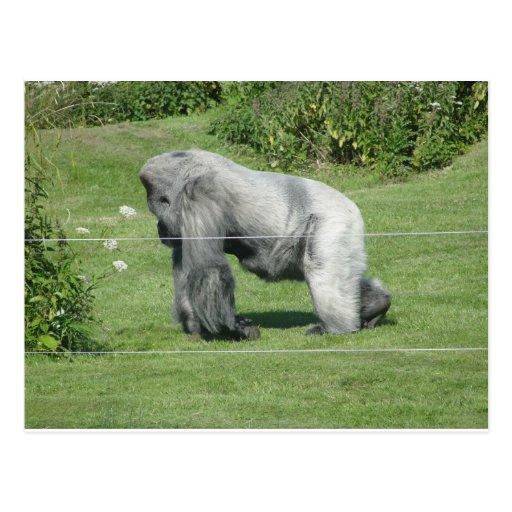 Nico - el gorila tarjeta postal