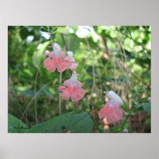 Ninfa coralina Salvia Impresiones