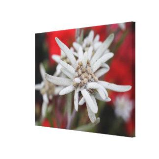 Nivale precioso del Leontopodium de Edelweiss Lona Envuelta Para Galerias