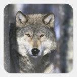 Norteamérica, los E.E.U.U., Minnesota. Canis del l Calcomanías Cuadradas Personalizadas