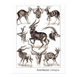 Nueva dirección de Ernst Haeckel Antilopina Postal