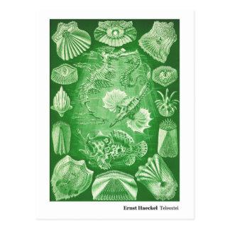 Nueva dirección de Ernst Haeckel Teleostei Postal