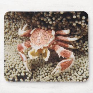 Océano Indo-Pacífico, primer del cangrejo de la Alfombrilla De Ratón