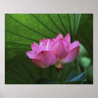 Ohga Lotus, Sankei-en jardín, Yokohama, Japón Impresiones