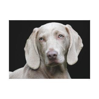 Ojos del perrito de Weimaraner Lienzo