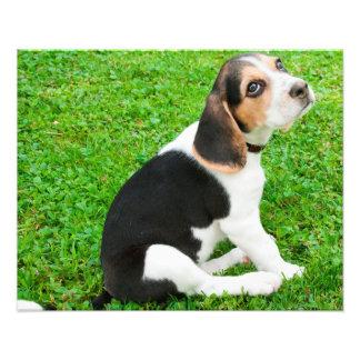 Ojos del perro de perrito del beagle de la impresion fotografica