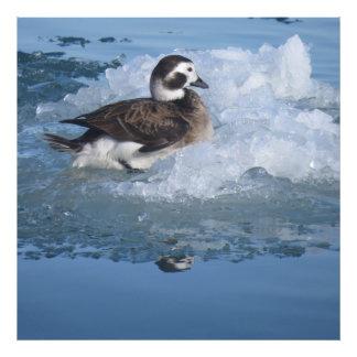 Oldsquaw ató de largo el pato en el hielo en el fotografias
