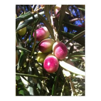 Olivenbaum en Spanien - Postkarte Postal