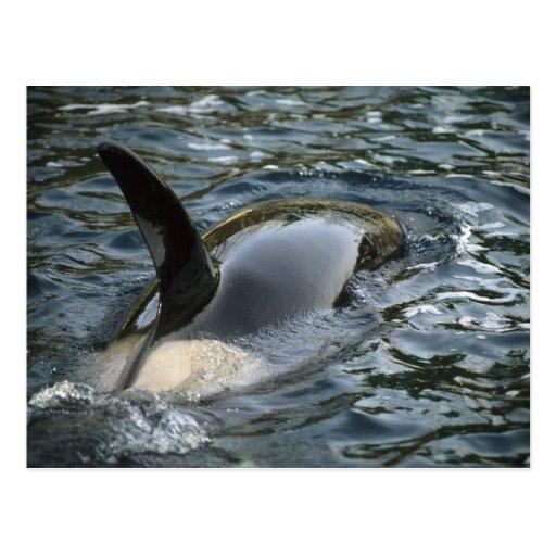Orca de la orca, de la orca, del Orcinus), adulto Tarjeta Postal