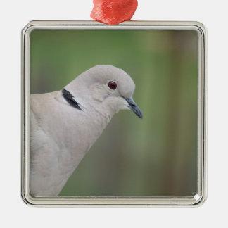 Ornamento agarrado eurasiático de la paloma