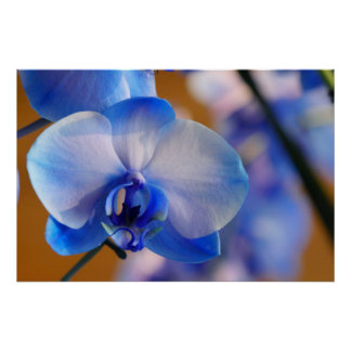 Orquídea azul y blanca póster