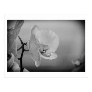 Orquídea blanca - postal
