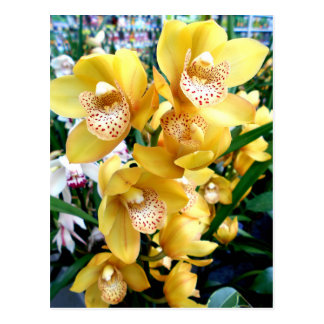 Orquídeas amarillas del Cymbidium Postal