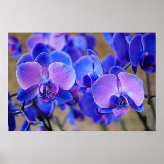 Orquídeas azules y rosadas póster