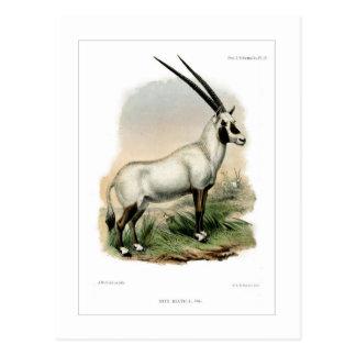 Oryx árabe tarjetas postales