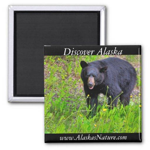 Oso negro de Alaska Imán Para Frigorifico
