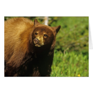 Oso negro juvenil en los lagos Waterton nacionales Tarjetón