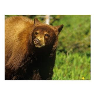 Oso negro juvenil en los lagos Waterton nacionales Postal