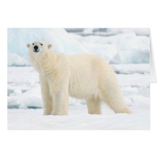 Oso polar adulto en busca de la comida tarjetón