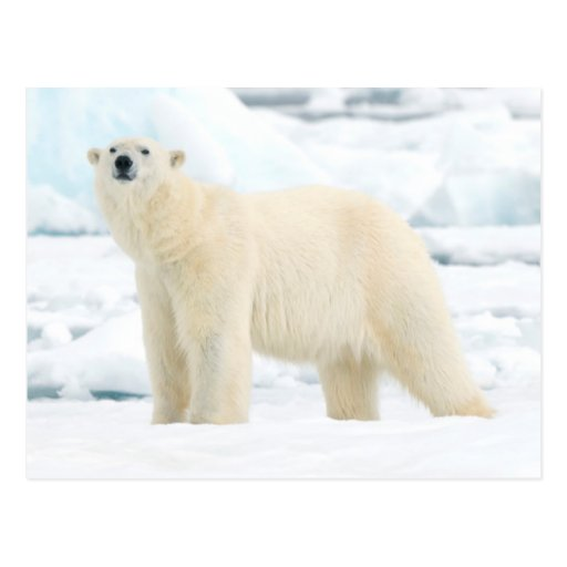 Oso polar adulto en busca de la comida tarjetas postales