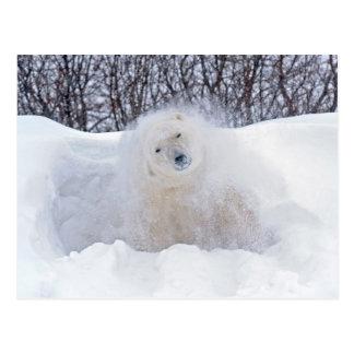 Oso polar que sacude nieve apagado en tundra postal
