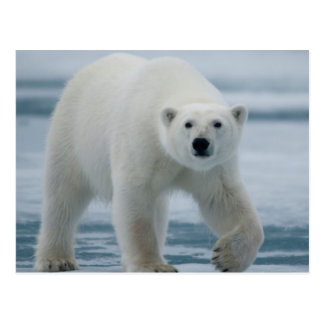 Oso polar, Ursus Maritimus, adulto Postal