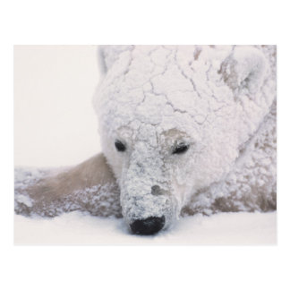 Oso polar, Urus Maritimus, ártico, Churchill, Postal